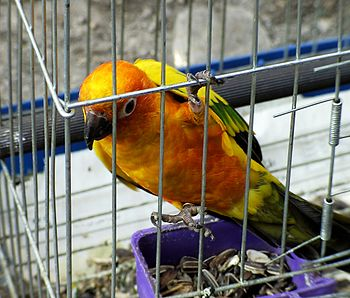 A pet Sun Parakeet (also known as a Sun Conure...