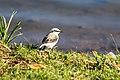 Birds ibira-6.jpg