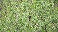 Birds of Nepal - Wiki Loves Birds 47.jpg
