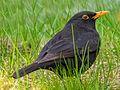 Birds of Sweden 2016 38.jpg