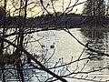 Birds swimming - Ravalen Lake.jpg