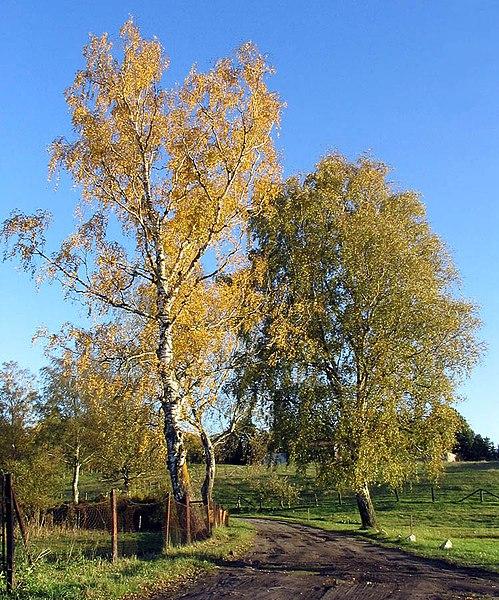 File:Birken im Herbst.jpg