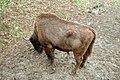 Bisontes europeos (30 de abril de 2018, Reserva y Centro de Interpretación del Bisonte Europeo de San Cebrián de Mudá) 11.jpg