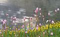 Bistorta officinalis - Çimen eveleği 01.jpg