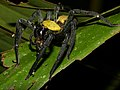 Black-and-gold Huntsman Spider (Thelcticopis sp.) (15364879927).jpg