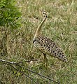 Black-bellied Bustard 2.jpg
