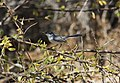 Black-tailed Gnatcatcher (AZ).jpg