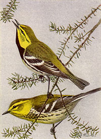 Black-throated Green Warbler NGM-v31-p316-B