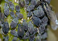 Black Bean Aphids (Aphis fabae) (14464428176).jpg