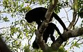 Black Howler Monkey - Flickr - GregTheBusker (7).jpg