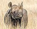 Black Rhino (15797036788).jpg