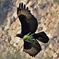 Black eagle yesterday at Walter SIsulu National Botanical Garden (36173878660).jpg