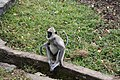 Black faced langur (7568278482).jpg