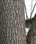 Black walnut bark 2.jpg