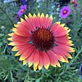 Blanketflower - Gaillardia aristata IMG 6098---.jpg