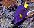 Blauer Segelflossendoktor (Zebrasoma xanthurum).jpg