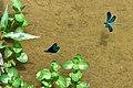 Blauflügelige Prachtlibellen 04.jpg