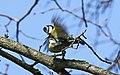 Blaumeise (Cyanistes caeruleus) im Grünfelder Park in Waldenburg. 2H1A3552WI.jpg