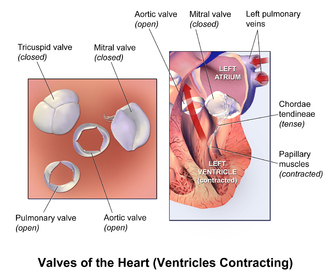 Heart valve - Illustration of the valves of the heart when the ventricles are contracting.