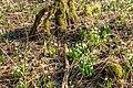 Bledule jarní v PR Králova zahrada 08.jpg