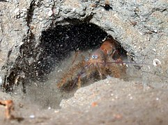 palinuridae � wikip233dia