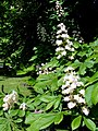 Blossom of the Horse Chestnut Tree - geograph.org.uk - 811353.jpg