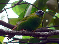 Blue-faced Parrot-finch new