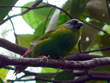 Blue-faced Parrot-finch new.jpg