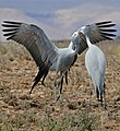 Blue Cranes (Anthropoides paradiseus) couple parading ... (32232058110).jpg
