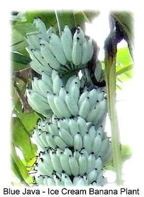 Blue java banana.jpg