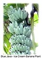 Blue java banana.jpg