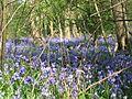 Bluebell wood (460337286).jpg
