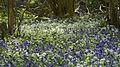 Bluebells and Ramsons (8750183851).jpg
