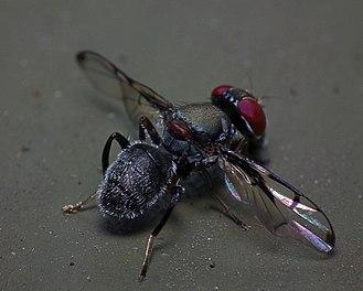 Platystomatidae - Pogonortalis doclea