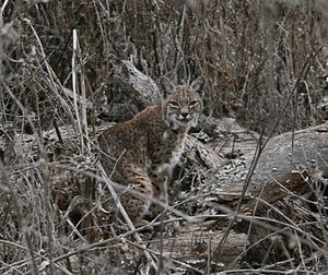 Santa Cruz Mountains - Bobcat in wintertime, at Almaden-Quicksilver Park