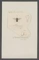Bombylius - Print - Iconographia Zoologica - Special Collections University of Amsterdam - UBAINV0274 038 11 0002.tif