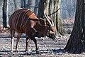 Bongo Stretching (33521795596).jpg