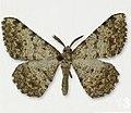 Bonn zoological bulletin - Gnopharmia kasrunensis (male).jpg