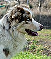 Border Collie Macho Rojo Mirlo (Beckham, los Baganes Border Collie).jpg