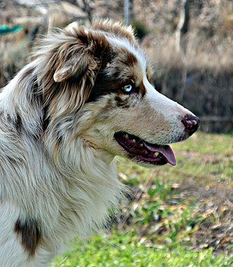 Border Collie - Red merle Border Collie. Male.