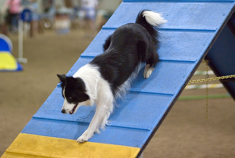 File:Border Collie agility A-frame.jpg