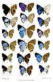 BorneanLycaenidae3Purkiss.jpg