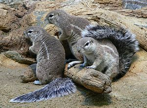 Xerinae - South African ground squirrel (Xerus inauris)