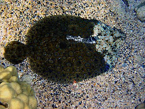 Peacock flounder - If one of the eyes is damaged or covered by sand, flounders have difficulties in matching their colors to the surroundings