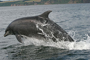 Cromarty Firth - Adult dolphin leaping in the firth