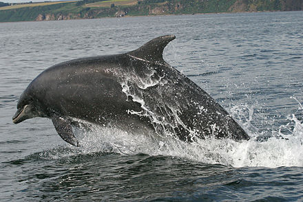 Adult dolphin leaping in the firth