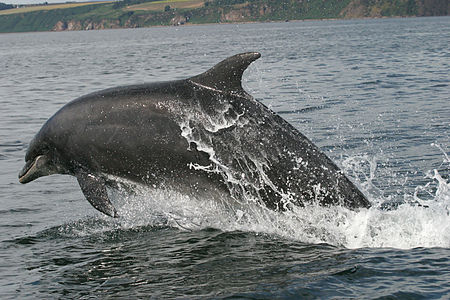 Bottlenose dolphin cromarty firth 2006.jpg