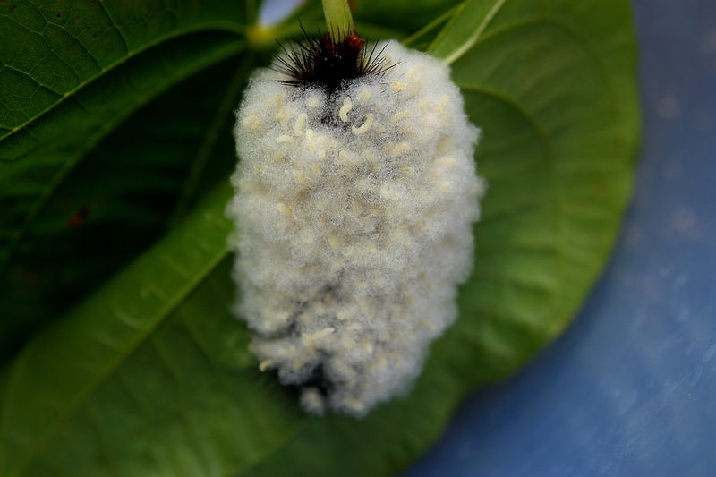 Braconid Wasps On Giant Leopard Moth Caterpillar