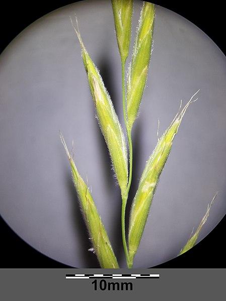 File:Brachypodium pinnatum sl16.jpg