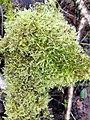 Brachythecium rutabulum 107266471.jpg